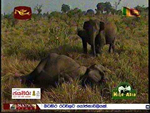 Wild Asia Sri Lanka Rupavahini Elephant Treatment Youtube