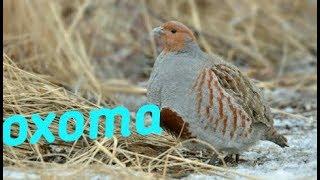 Охота с пневматикой на куропатку/фазана,нашел дупла куницы!