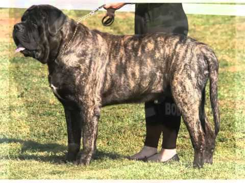 Types of Mastiff Dogs - Bing images
