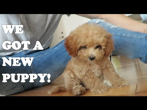 WE GOT A PUPPY!!!!! | Adorable Maltipoo Puppy