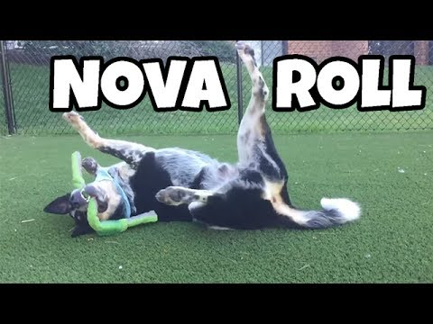 Nova Roll! How to be the happiest dog - Australian Cattle Dog playing