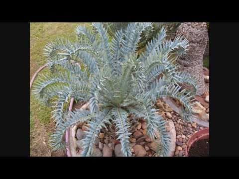 Cycads -- Encephalartos in South Africa