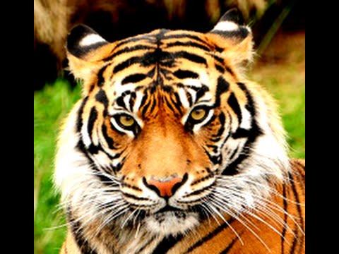 tiger - photo #12