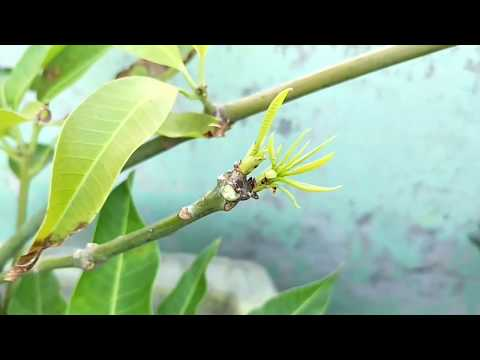 How to Grow Mango In Pot || गमले में आम की Growth कैसे हो