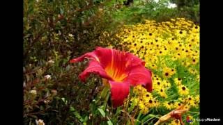 50+ фото Пузыреплодник калинолистный - посадка и уход