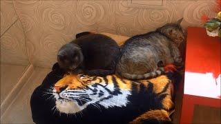 #729 Россия Санкт Петербург Видео от Нинули Любителям пушистых комочков