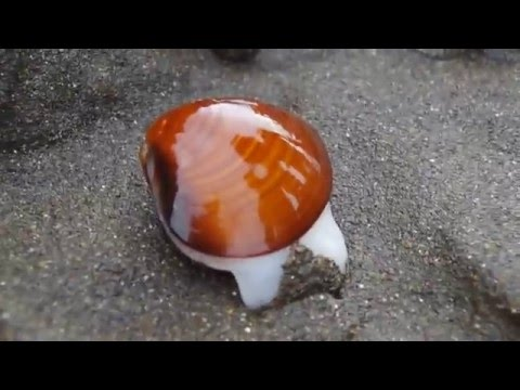 Sea Clam Digging the Sand