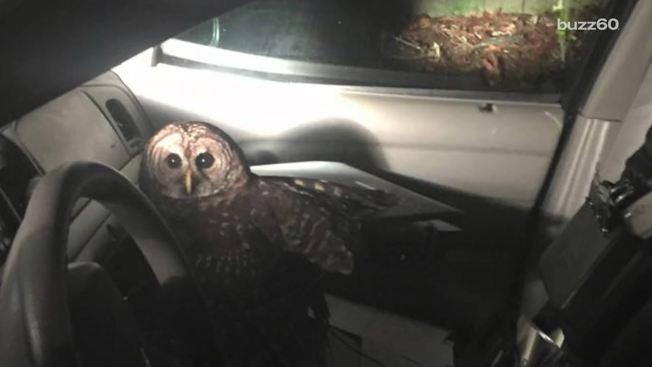 Owl flies into police officer's car, scratches him, and hangs out for about  an hour