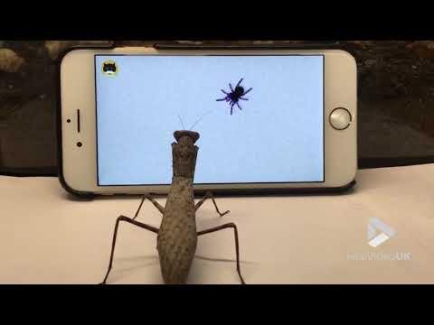 Viral Video UK: Praying mantis watching TV