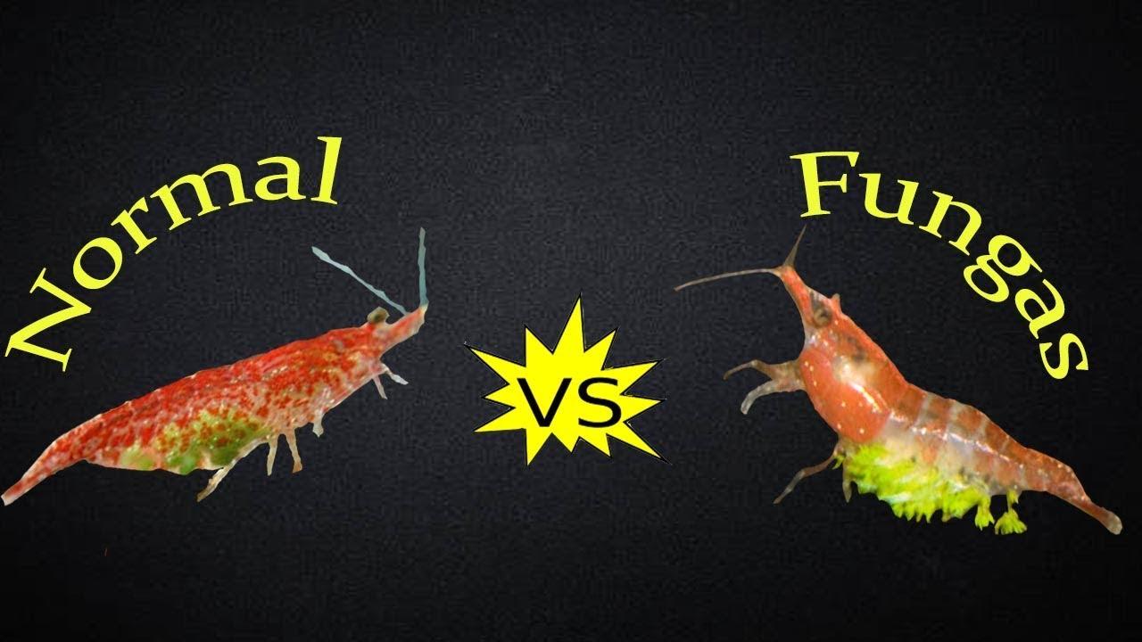 Shrimp Ellobiopsidae Green Fungus Understand Youtube