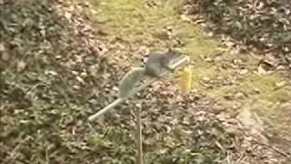 The Squirrel Show (corn Cob Feeder From Loh Inc.)