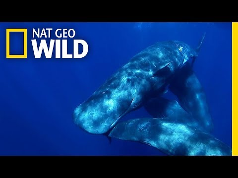 Sperm Whales Stay Close to Mom For Years | Nat Geo Wild