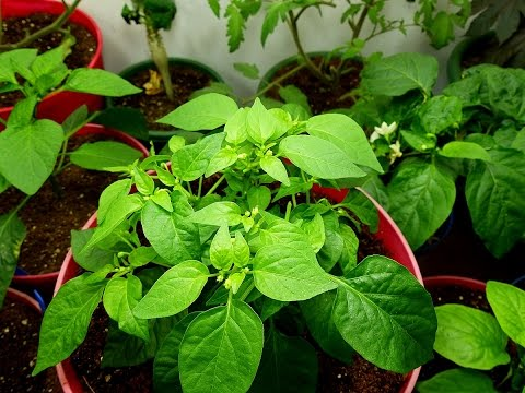 Pepper and tomato pruning for spring