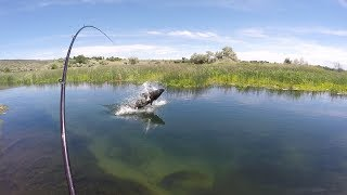 Sight Fishing for Monster Sturgeon in a tiny Creek! - Pt 2