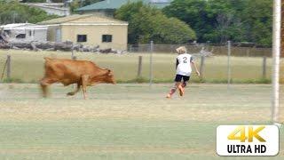 بالفيديو.. بقرة تقتحم ملعب كرة في أستراليا