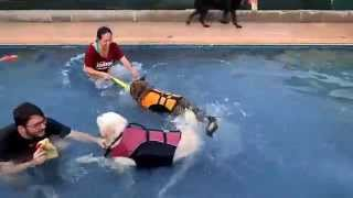 Goldendoodle, Black Labrador Retriever & German Shepherd Mix Swim & Play In Pool 3
