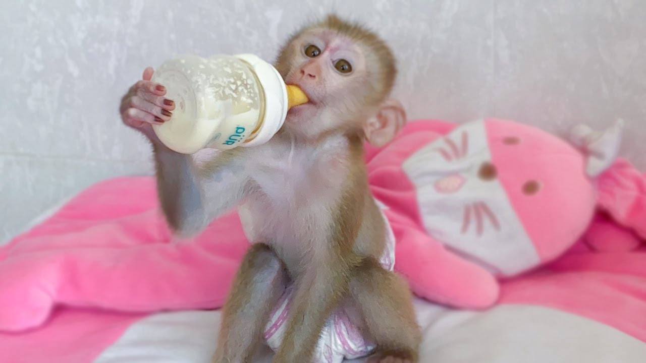 Little Baby Monkey Amy So Hungry in The Morning After Wake up
