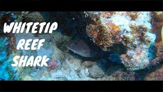 Whitetip Reef Shark, French Polynesia 4k