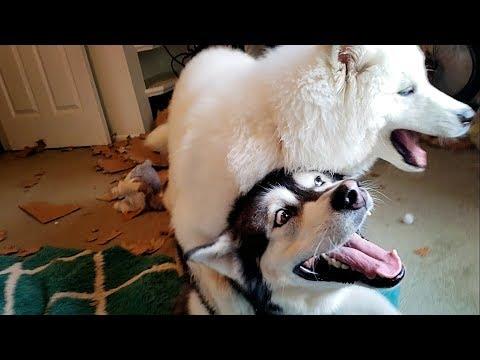 Funny Husky Puppy Rides Malamute Like A Horse...........lmbo