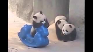 Забавные животные. Панды