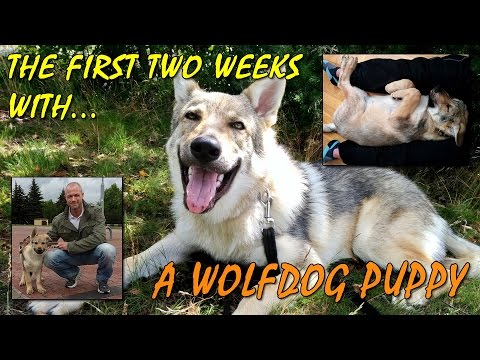 Czechoslovakian Wolf Dog Lovec - The First Two Weeks