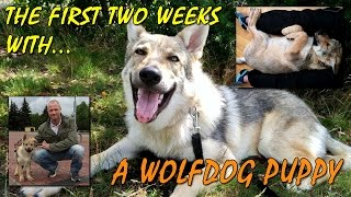czechoslovakian-wolfdog-vlcak-lovec-the-first-two-weeks-playing-wolf-dog-puppy