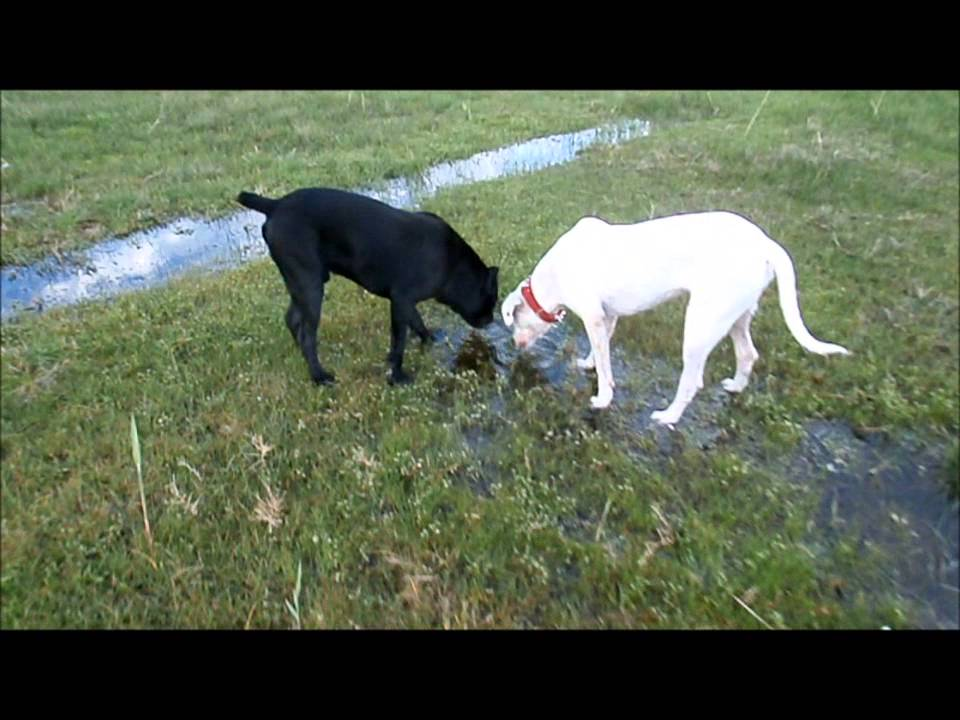 Cane Corso playing with Dogo Argentino - YouTube
