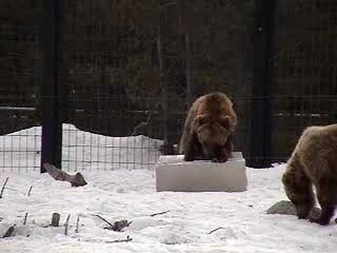 Grizzly Bear Resistant Box Testing--for Colorado River & Trail Expeditions