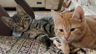 FUNNY CATS ARE LOOKİNG FOR EACH OTHER