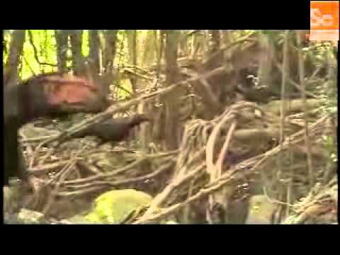 Mammals Vs Dinos Dilong Feathered Hunters