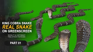 King cobra on green screen | Royalty and Copyright FREE Stock footage | Naagin snake animation