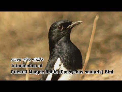 Oriental Magpie Robin Copsychus saularis Bird , bangladesh.