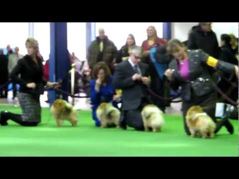 Best of Pomeranians at The Westminster Kennel Club Dog Show