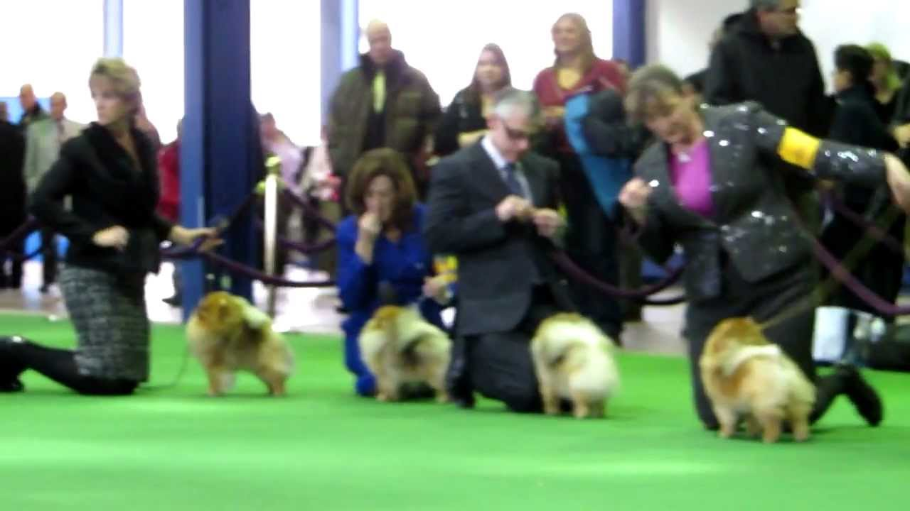 Best Of Pomeranians At The Westminster Kennel Club Dog Show Youtube
