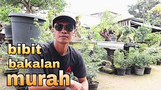 Review Harga Bibit Dan Bakalan Bonsai