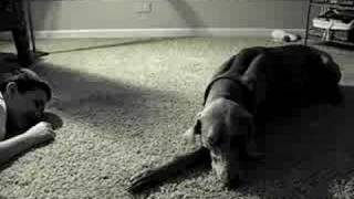 Our Weimaraner Grigia's Ear Dance (shorter)