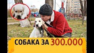 КУПИЛ СОБАКУ ЗА 300.000 (Лабрадор-Ретривер)