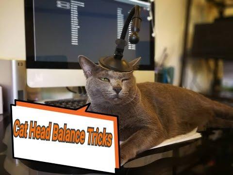 Tiki Korat cat holding things on her head. แมวตลกสามารถเลี้ยงสิ่งของบนหัวได้