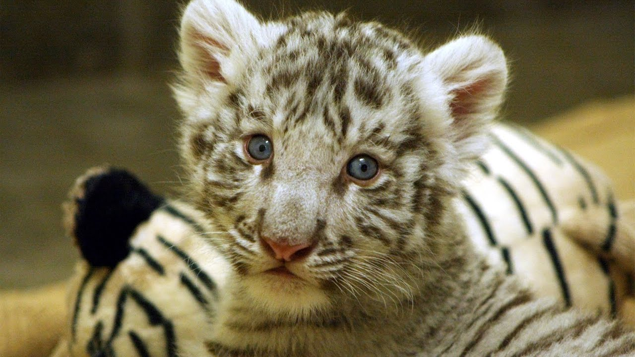 Meet Peppermint, the 3-month-old baby white tiger cub