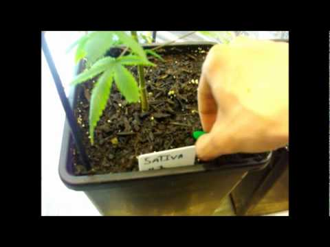 How To Fertilize Cannabis