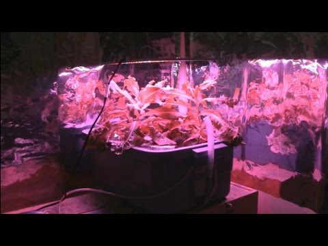 Led Grow Light Review With Hydroponic Lettuce Youtube