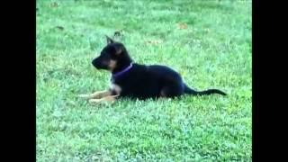 German Shepherd Puppies, C Litter Outside Group