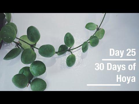 hoya-brevialata-|-30-days-of-hoya---25-of-30