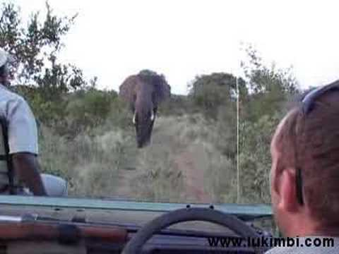 Elephant Charging at Lukimbi Safari Lodge