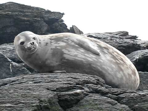 weddell seal on South Orkney Island, Antarctica