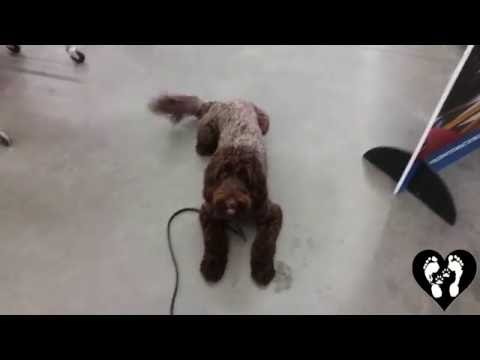 1 yr old Aussiedoodle Henry off leash and public obedience with Houston dog training