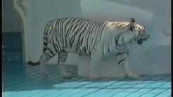 Weiße Tiger - Siegfried & Roy im Phantasialand 1992