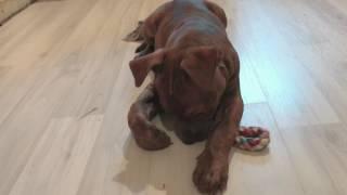Купирование ушей ДО/ПОСЛЕ - Щенок питбуля 2 месяца || BEFORE/AFTER floppy vs. cropped pitbull ears