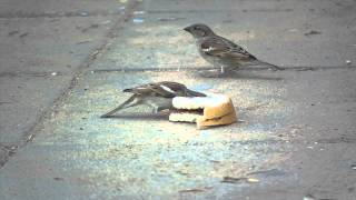 Sparrow Bird Eating Bread Free Footage Tripod Download
