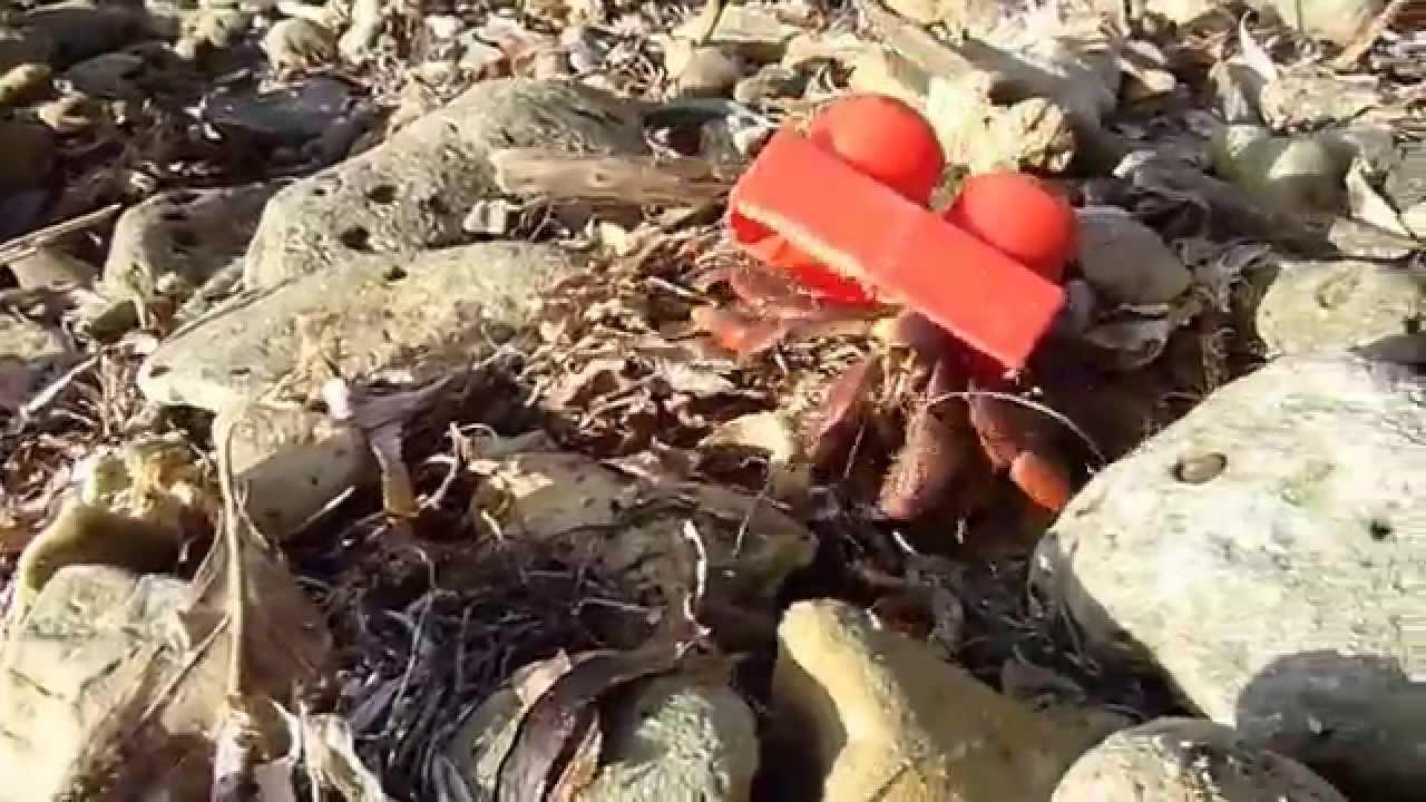 Cangrejo ermitaño no encuentra una concha y utiliza una pieza lego ...